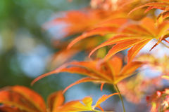 Colorful young Fullmoon Japanese Maple leaves Royalty Free Stock Photo