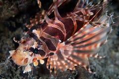 Colorful Zebra Lionfish Royalty Free Stock Photography