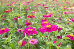 Colorful Zinnia elegans flower field Royalty Free Stock Images