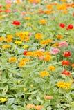 Colorful Zinnia Elegans Flowers Field. Stock Image
