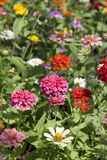Colorful zinnia flower Stock Image