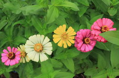 Colorful of zinnia flower. Close up for zinnia flower with the leaf background Stock Images