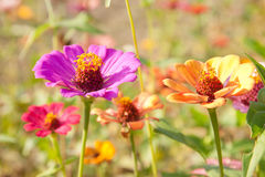 Colorful zinnia flower field Stock Image