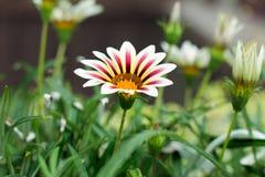 Colorful Zinnia flower Stock Photos