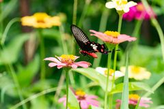 Free Colorful Zinnia Flowers,Butterfly And Bug Drinking Nectar From Z Stock Images - 118883504