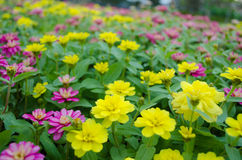Colorful of zinnia flowers Stock Image