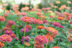 Colorful Zinnia Flowers Stock Image