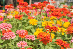 Colorful zinnia flowers Royalty Free Stock Image