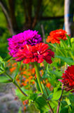 Colorful zinnia flowers in the garden Stock Images