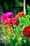 Colorful zinnia flowers in the garden Stock Photos