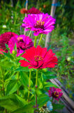 Colorful zinnia flowers in the garden Royalty Free Stock Photo