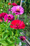 Colorful zinnia flowers in the garden Royalty Free Stock Photography