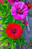Colorful zinnia flowers in the garden Royalty Free Stock Images
