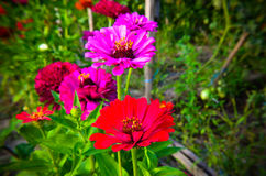 Colorful zinnia flowers in the garden Royalty Free Stock Image