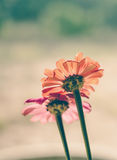 Colorful zinnia flowers Stock Image