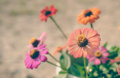 Colorful zinnia flowers Royalty Free Stock Images