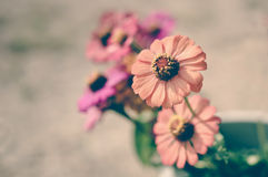 Colorful zinnia flowers Stock Photo