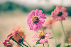 Colorful zinnia flowers Stock Photography