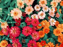 Colorful zinnia in the garden. Stock Image
