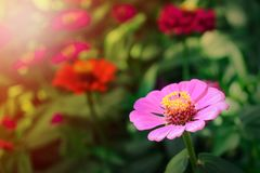 Colorful  zinnia violacea blooming in garden with soft sunlight , nature ornamental pink petal flowers , green stem and bright. Close up Colorful  zinnia royalty free stock photography