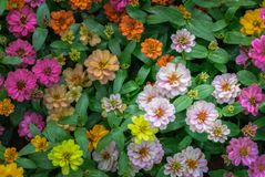 Colorful of Zinnia violacea flower in garden. Selective focus, nature background concept Royalty Free Stock Images