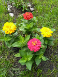 Colorful zinnias Royalty Free Stock Photography