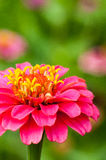 Colorful Zinnias Stock Photo