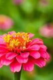 Colorful Zinnias Stock Photo