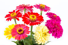 Colorful Zinnias Royalty Free Stock Photos