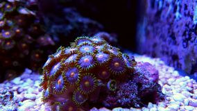 Colorful zoanthids polyps Stock Photos