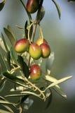 colorfull橄榄 免版税图库摄影