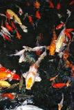 Colorfull鱼在水中 库存图片