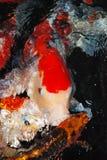 Colorfull鱼在水中 图库摄影