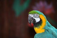 colorfull鹦鹉 免版税图库摄影