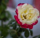 Colorfull al aire libre del jardín fresco de la flor Imagen de archivo