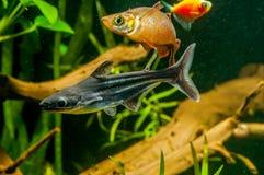 Colorfull-Aquariumfische stockfotos