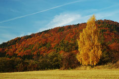 Colorfull autumn landscape. Landscape with autumn broadleaved forest behind the lonely tree Stock Image