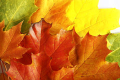 Colorfull autumn leaves isolated on the white bac Stock Photo