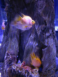 Colorfull and beautiful coral fish in blue water Stock Photo