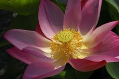 Closer up of lotus. Colorfull blooming lotus royalty free stock photos