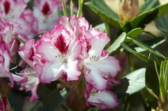 Rhododendron. The colorfull blossom of a bush plant - a rhododendron Stock Photo