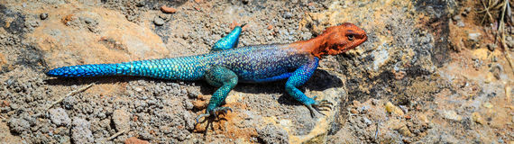 Colorfull blue red african lizard on a rock Royalty Free Stock Image
