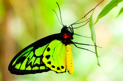 Colorfull butterfly Royalty Free Stock Photography