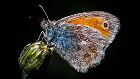 Colorfull butterfly on top of a plant with black background Stock Images
