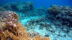 Colorfull Coral reef in Red Sea. Underwater colorfull Coral coral reef in the Red Sea Royalty Free Stock Photo