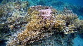 Colorfull Coral reef in Red Sea. Underwater colorfull Coral coral reef in the Red Sea Stock Photos