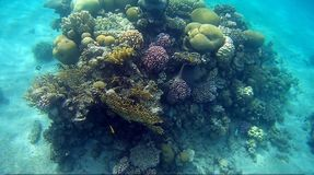 Colorfull Coral reef in Red Sea. Underwater colorfull Coral coral reef in the Red Sea Royalty Free Stock Photos