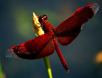 Colorfull dragonfly Stock Photography
