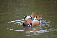 Colorfull duck. Wild beautiful colored duck swimming in water Royalty Free Stock Images