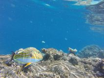 Colorfull fisch underwater. Colorfull fisch under water tropic Maledives royalty free stock photos